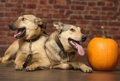 Zwei Hunde mit Kürbis stockfotos