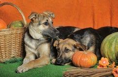 Zwei Hunde mit Kürbis lizenzfreie stockfotos
