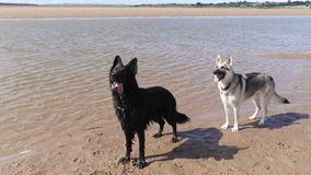 Zwei Hunde neben einem Fluss in Großbritannien Lizenzfreies Stockfoto