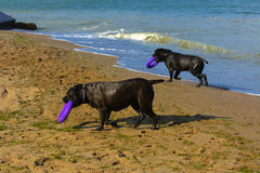Zwei Hunde Rottweiler im Wasser durch das Meer, das mit einem Spielzeug spielt Lizenzfreies Stockfoto