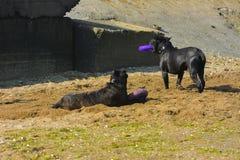 Zwei Hunde Rottweiler im Wasser durch das Seespielen Lizenzfreie Stockfotos
