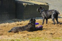 Zwei Hunde Rottweiler im Wasser durch das Seespielen Stockfotos