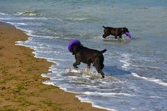 Zwei Hunde Rottweiler im Wasser durch das Seespielen Lizenzfreie Stockfotografie