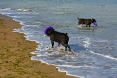 Zwei Hunde Rottweiler im Wasser durch das Seespielen Stockbild