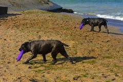 Zwei Hunde Rottweiler im Wasser durch das Seespielen Stockfotografie