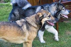 zwei Hunde spielen zusammen im Garten stockbilder