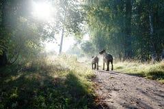 Zwei Hunde - Vater und Sohn - gehen zu den Strahlen des Sonnenaufgangs Stockfoto