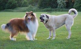 Zwei Hunde ziehen sich beleuchtet auf grünem Gras zurück Stockbild