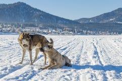 Zwei Hundeblick auf einander lizenzfreies stockfoto