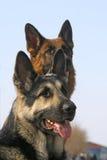 Zwei Hundegesicht Stockbild