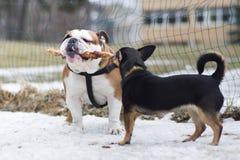 Zwei Hundespielen Lizenzfreies Stockbild