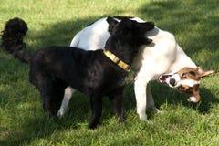Zwei Hundespielen Stockfoto