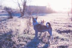 Zwei Hundespielen im Freien auf dem Gebiet am kalten sonnigen Herbstmorgen Stockbild