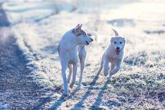 Zwei Hundespielen im Freien auf dem Gebiet am kalten sonnigen Herbstmorgen Stockbilder