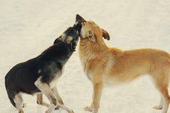 Zwei Hundespielen und -kuß auf Schnee am Winter Stockfoto