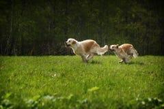Zwei Hundgoldener Apportierhund Lizenzfreie Stockfotografie