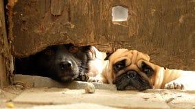 Zwei Hundpug, der heraus von unterhalb des alten Zauns schaut stockfotos