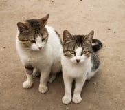 Zwei hungrig und schlechte Katzen Lizenzfreie Stockbilder
