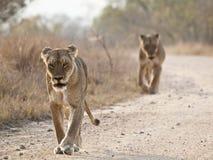 Zwei hungrige Löwinnen, die in Richtung zur Kamera gehen Stockfotografie