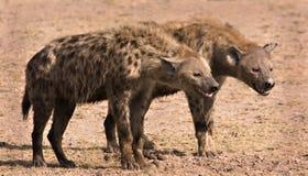 Zwei Hyänen Stockbild