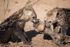 Zwei Hyänenwelpen, die auf einem großen, schmutzigen Knochen zerfressen stockfoto