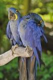 Zwei Hyazinthe Macaws Lizenzfreie Stockbilder