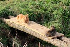 Zwei inländische graue und hellbraune Katzen, die ruhig auf der kleinen improvisierten Holzbrücke umgeben mit ungeschnittenem Gra stockbilder