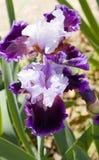 Zwei Iris von violetten und weißen Farben Lizenzfreies Stockfoto