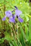 Zwei Irisblumen auf einem Hintergrund von grünen Wiesen Lizenzfreies Stockbild