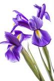 Zwei Irisblumen auf weißem Hintergrund Stockfotos