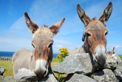 Zwei irische Esel Lizenzfreies Stockfoto