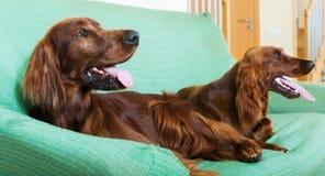 Zwei Irische Setter, die auf Sofa stillstehen Lizenzfreies Stockbild