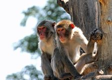 Zwei japanische Makaken, die einem Baumast anhaften Lizenzfreie Stockfotos