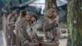 Zwei japanische Makaken, die neben einander sitzen Stockbild