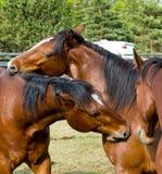 Zwei juckende Pferde stockbilder