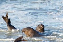 Zwei jugendliche männliche Seelefanten in der Brandung lizenzfreie stockbilder