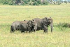 Zwei junge Afrikaner-Bush-Elefanten, die in die Savanne einziehen Lizenzfreies Stockfoto