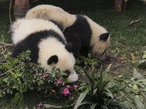 Zwei Junge der großen Pandas, die aus den Grund spielen Stockfoto