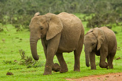 Zwei junge Elefanten Stockfotos