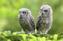 Zwei junge Eulen auf Lärchenbaum Stockfotos