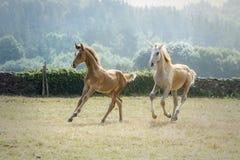 Zwei junge Fohlen, die zusammen in einen sonnigen Morgen in einer Wiese laufen stockfotos