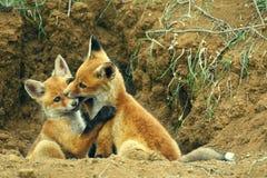Zwei Junge Fox, der nahe seinem Loch spielt Stockfotografie