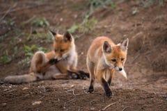 Zwei Junge Fox, der nahe seinem Loch spielt Lizenzfreies Stockfoto