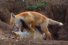 Zwei Junge Fox, der nahe seinem Loch spielt Stockbilder