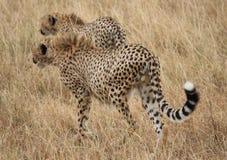 Zwei junge Geparde Stockfotografie