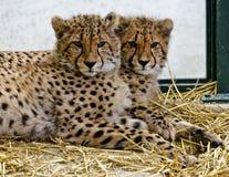Zwei junge Geparde Stockbild