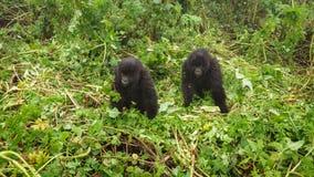 Zwei junge Gorillas, die im Wald spielen Stockfotografie