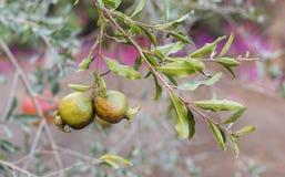 Zwei junge Granatäpfel auf Baum Lizenzfreies Stockfoto