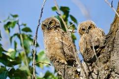 Zwei junge junge Eulen, die direkten Blickkontakt von ihrem Nest aufnehmen Lizenzfreie Stockbilder