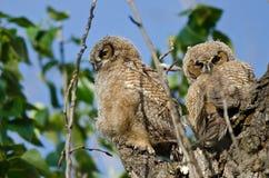 Zwei junge junge Eulen, die in ihrem Nest stillstehen Lizenzfreies Stockbild